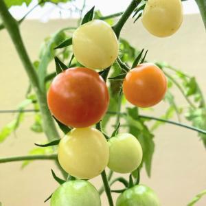 【家庭菜園】ミニトマトが赤らんで来ました