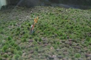 水槽のマリモのようなソイルのコケを食べる熱帯魚