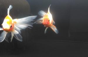 金魚人気復活のカギはペットショップの展示にあり!?