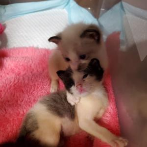 保護猫の記録 生後26日目