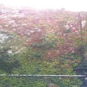 蔦の紅葉のはじまり。