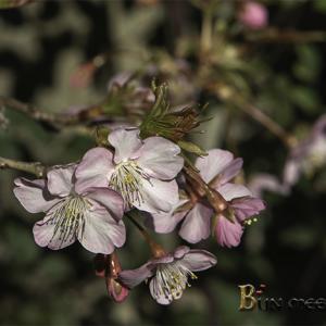 :カワヅザクラから春の温もりを!: