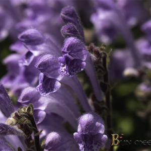 :紫色が美しいタツナミソウ!: