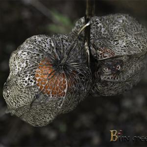 :レース状になるホオズキの果実は 美しい!: