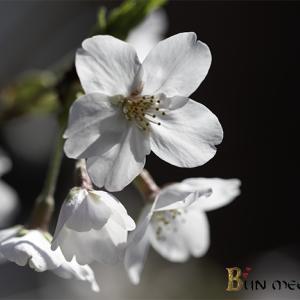 :ソメイヨシノの花を散らすのは・・・:
