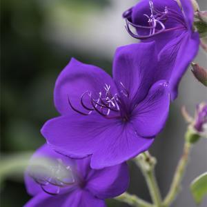:紫色が美しいシコンノボタン!:
