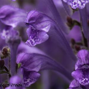 :紫が美しいタツナミソウ!: