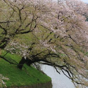 ディズニーでは、ありませんが・・・  桜が綺麗でした。