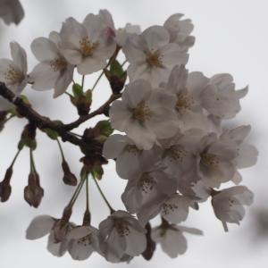 金沢、桜開花しました。最も早い記録に並ぶそうです(笑)