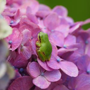 花上のカエルさんをやっと撮れました(笑)