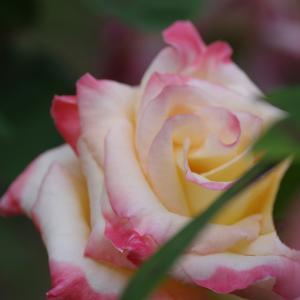 秋の薔薇【その2】