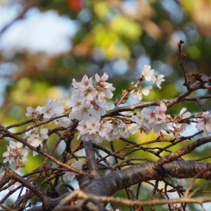 やっと撮ってきました十月桜「前編」
