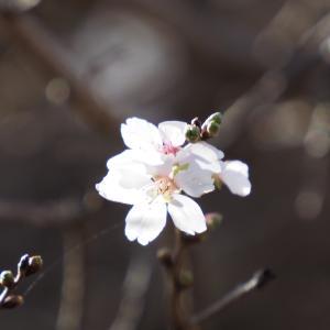 続十月桜/大乗寺丘陵公園(前編)