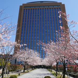 桜並木「県庁本庁舎南入口」