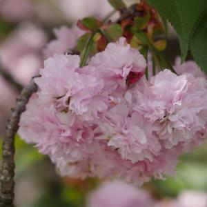 尾山神社「兼六園菊桜」