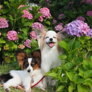 今年は紫陽花との写真がいっぱい!