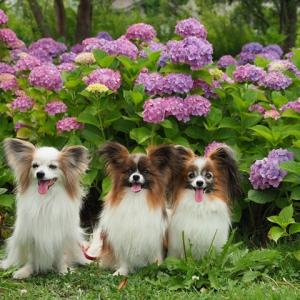 お友だちとの紫陽花撮影会