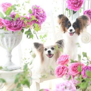 芍薬とバラに囲まれて、プロに写真を撮ってもらいました