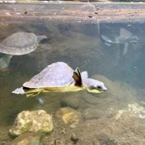 見て!ふれて!おどろく!体感型動物園iZoo♪泳ぐカメさん