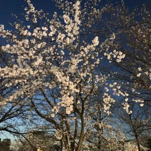 昨日の♪夜桜🌸(pq・v・)+°