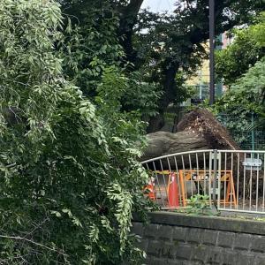 神田川の倒木
