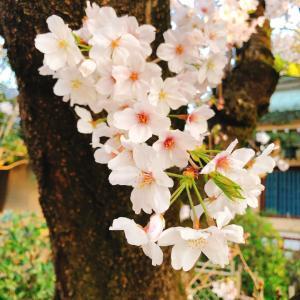 ■今年の桜と動画の時間