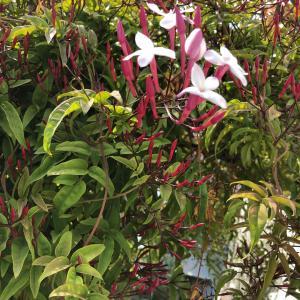 ■ハーブガーデンのジャスミンが咲きました