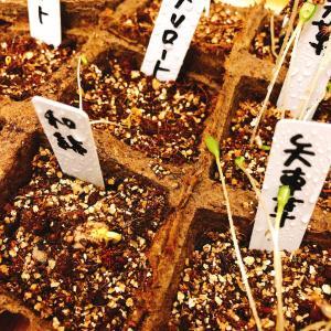 ■種まきしたハーブたちの芽吹き