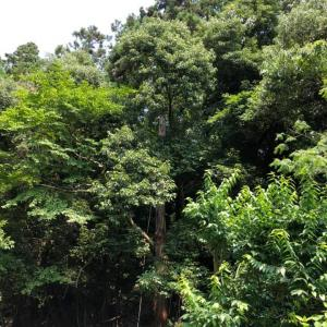 裏山の高木伐採 アーボリストという職業