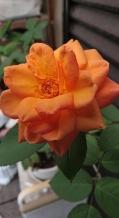6/20 アンネのバラが咲きました 阪南市へ