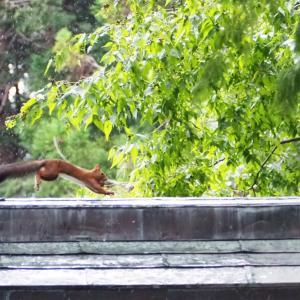 雨の北海道神宮でリスにあう