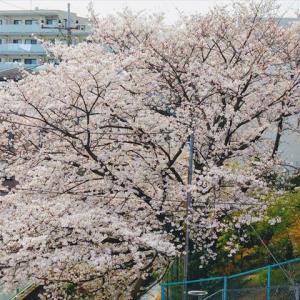 なぐさめてくれた桜