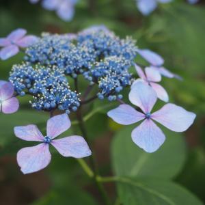 千葉多古町にある「日本寺」 紫陽花 あれこれ♪