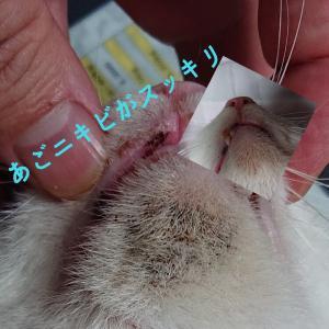 ★お家で出来る★猫のざ瘡(あごにきび、アクネ)のお手入れ