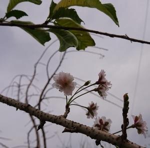 稲刈の時期に、桜❓🌸🌸🌸❓