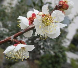 花壇の梅の花