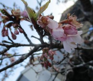 交流センターの桜も咲き始めました