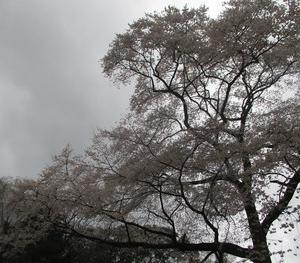 ほうぜの桜