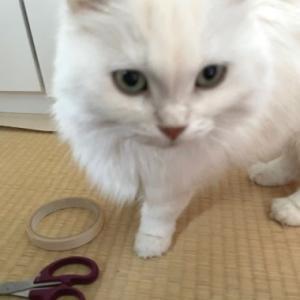 猫と一緒にクッションフロアの貼り替え作業。