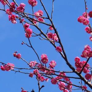 梅は咲いたか ~しょんがえ節~