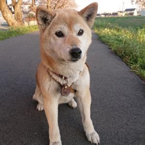 皆様に可愛がって頂いている愛犬ヨコネ!本日4月6日は遠州横須賀三熊野神社大祭を見物に行った帰りに愛犬ヨコネを保護した日!