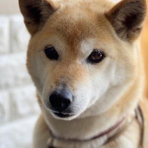 保護犬でもあるミニ柴の愛犬ヨコネのお陰でまたまた色々な事実がっ!トリミングをお任せした「ひめさろん」さんは私の仲間の!