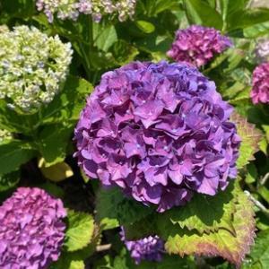 まるで夏の様な暑さの昨日!愛犬ヨコネとの散歩中には色々な種類の「紫陽花」が見れいよいよ梅雨の季節に!果たして今年は??