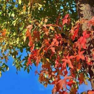 今年は期待が出来そう!いよいよ気持ちの良い涼しい天候が続く秋の楽しみでもある紅葉が袋井市の地元でも!!
