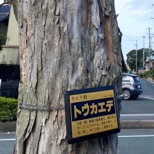 今年も紅葉の秋を目前にして当社展示場の前の街路樹である「トウカエデ」の伐採がっ。片付ける大変さも人一倍解りますが・・・