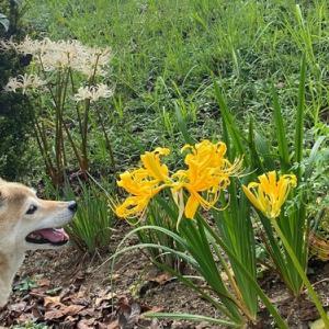 残念な雨となってしまった本日!とても目出度い出来事が2つ!先ずは愛犬ヨコネとの散歩中に見れた悲しい思い出の黄色い彼岸花!