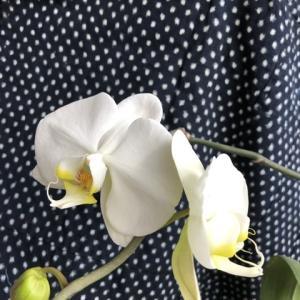 胡蝶蘭 白いミニ胡蝶蘭は満開です