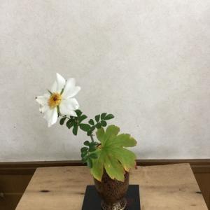 石垣島の野ばらとタンチョウソウの葉