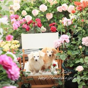 バラとLilly&蘭