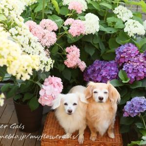 紫陽花とLilly & 蘭
